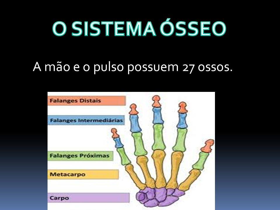 O SISTEMA ÓSSEO A mão e o pulso possuem 27 ossos.