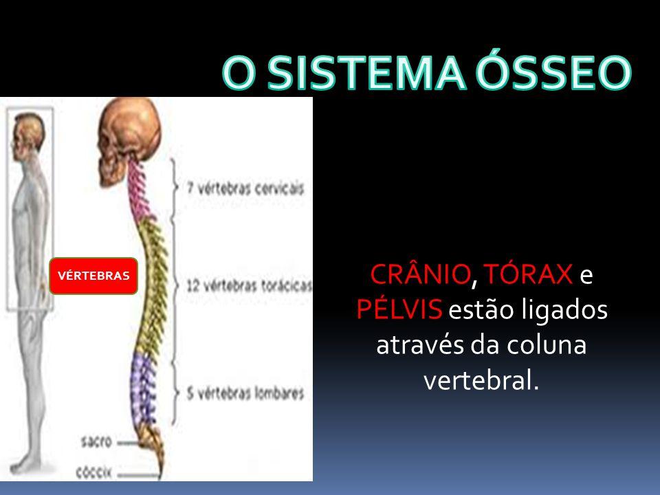 CRÂNIO, TÓRAX e PÉLVIS estão ligados através da coluna vertebral.