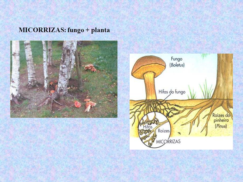 MICORRIZAS: fungo + planta