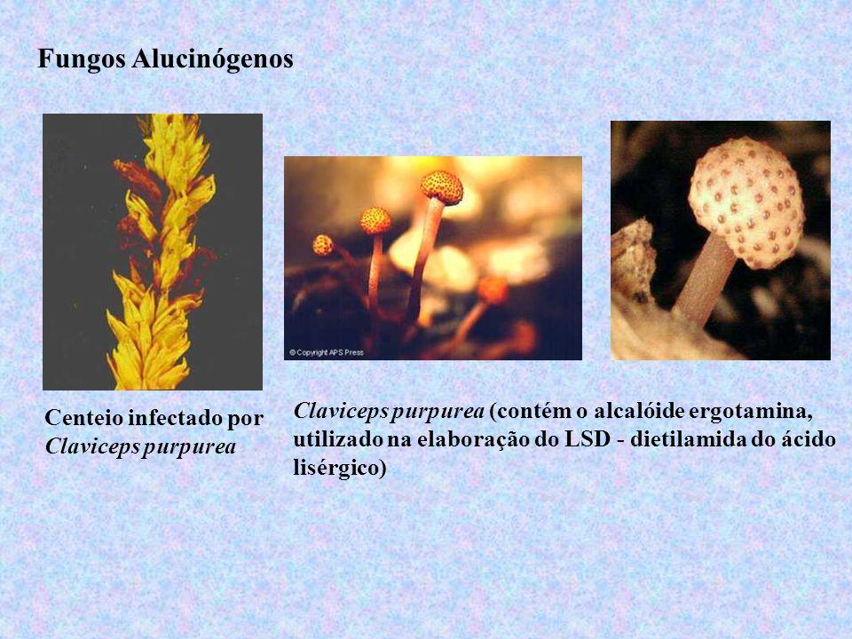 Fungos AlucinógenosClaviceps purpurea (contém o alcalóide ergotamina, utilizado na elaboração do LSD - dietilamida do ácido lisérgico)