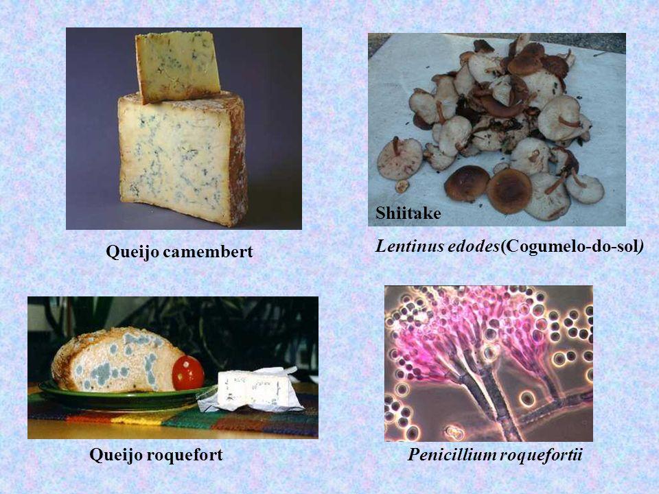 Shiitake Lentinus edodes(Cogumelo-do-sol) Queijo camembert Queijo roquefort Penicillium roquefortii