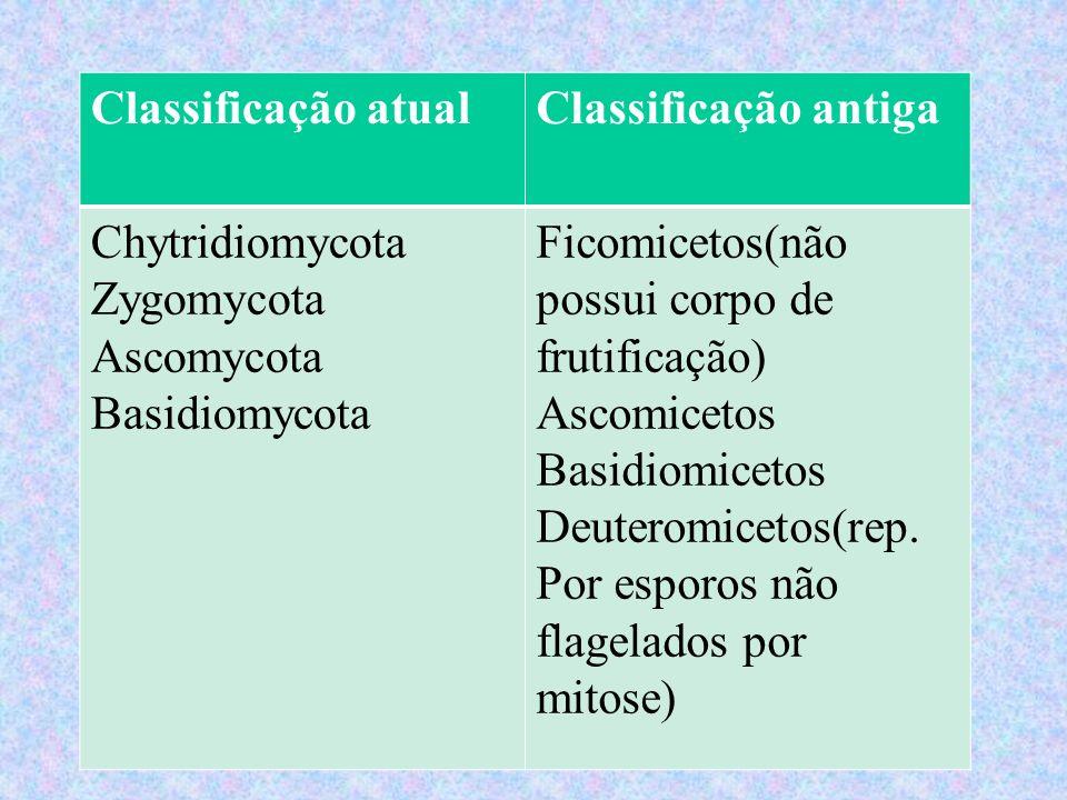 Classificação atual Classificação antiga. Chytridiomycota Zygomycota Ascomycota Basidiomycota. Ficomicetos(não possui corpo de frutificação)