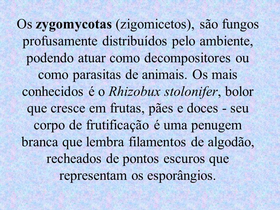 Os zygomycotas (zigomicetos), são fungos profusamente distribuídos pelo ambiente, podendo atuar como decompositores ou como parasitas de animais.