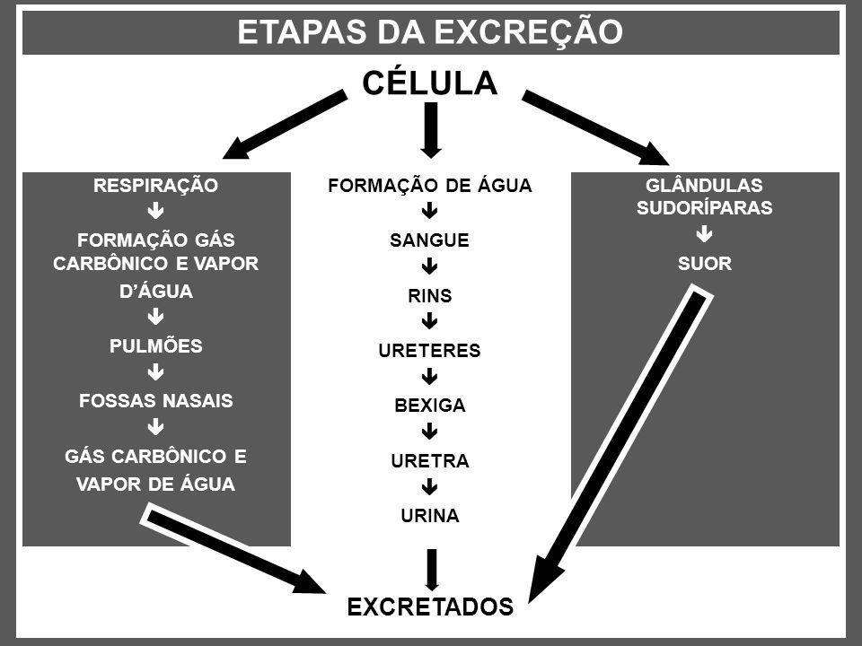 FORMAÇÃO GÁS CARBÔNICO E VAPOR GLÂNDULAS SUDORÍPARAS