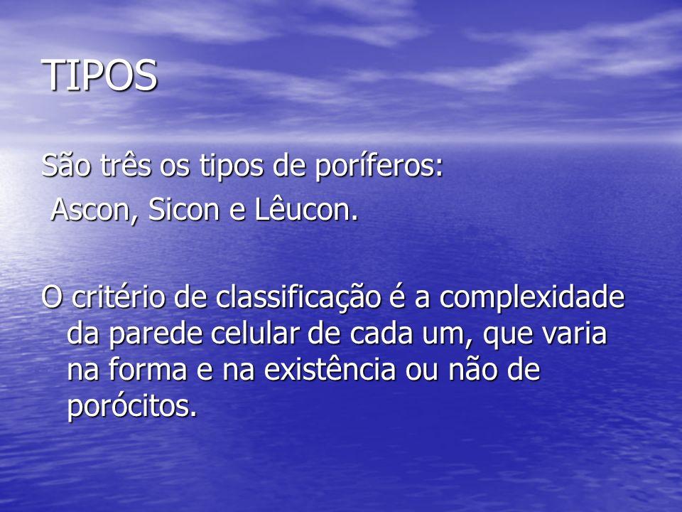 TIPOS São três os tipos de poríferos: Ascon, Sicon e Lêucon.
