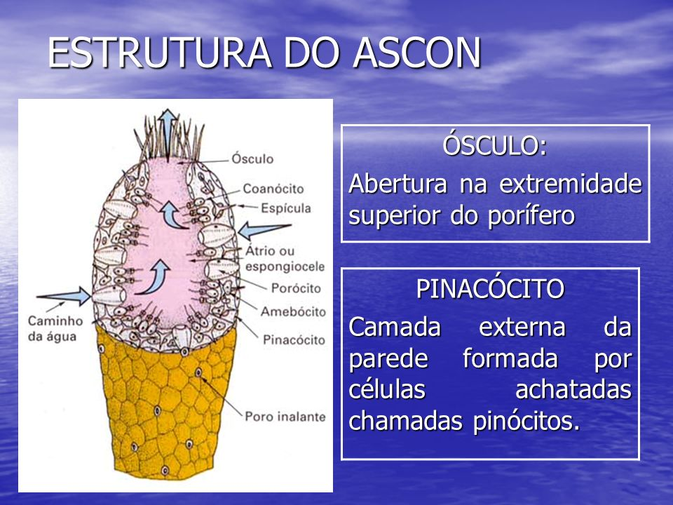 ESTRUTURA DO ASCON ÓSCULO: