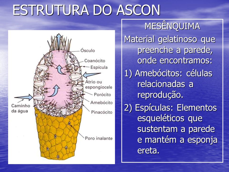 ESTRUTURA DO ASCON MESÊNQUIMA