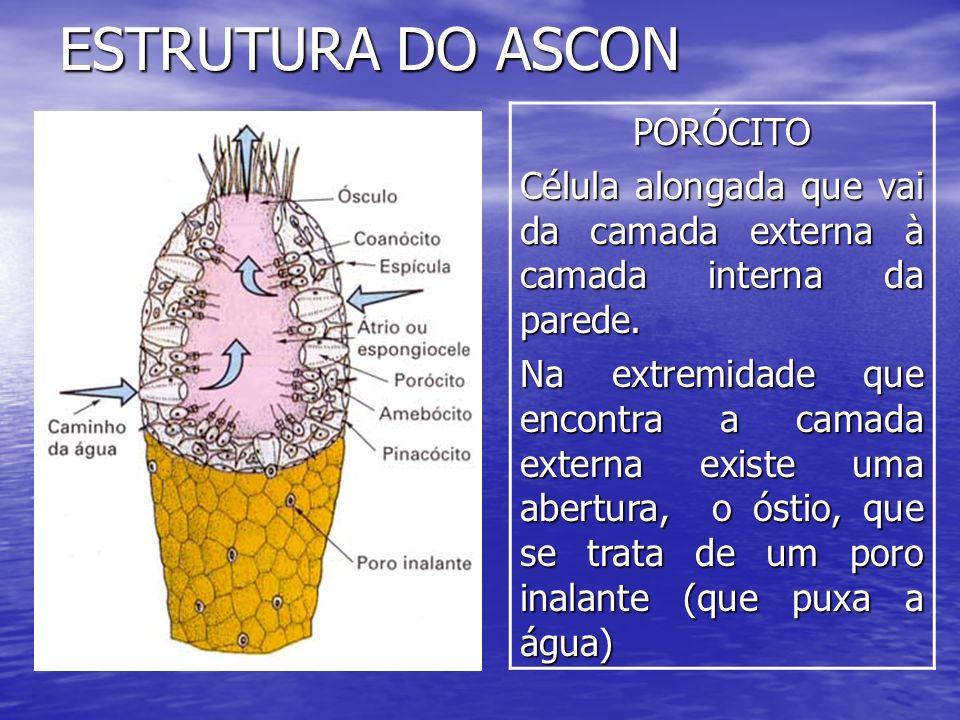 ESTRUTURA DO ASCON PORÓCITO