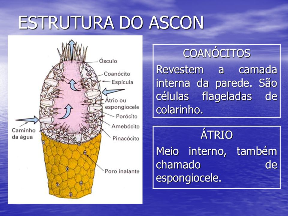ESTRUTURA DO ASCON COANÓCITOS
