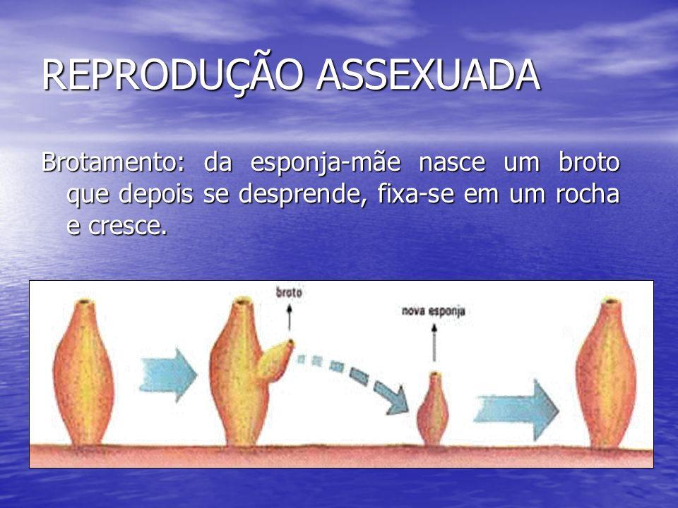 REPRODUÇÃO ASSEXUADA Brotamento: da esponja-mãe nasce um broto que depois se desprende, fixa-se em um rocha e cresce.
