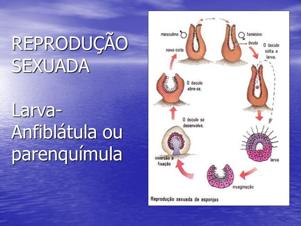 REPRODUÇÃO SEXUADA Larva-Anfiblátula ou parenquímula