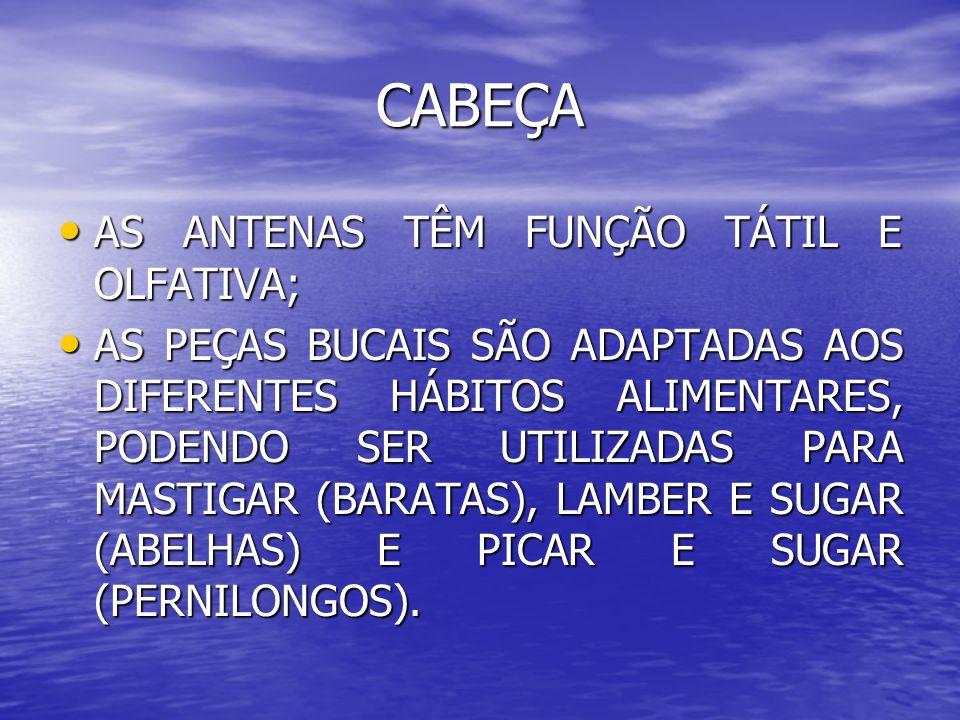 CABEÇA AS ANTENAS TÊM FUNÇÃO TÁTIL E OLFATIVA;
