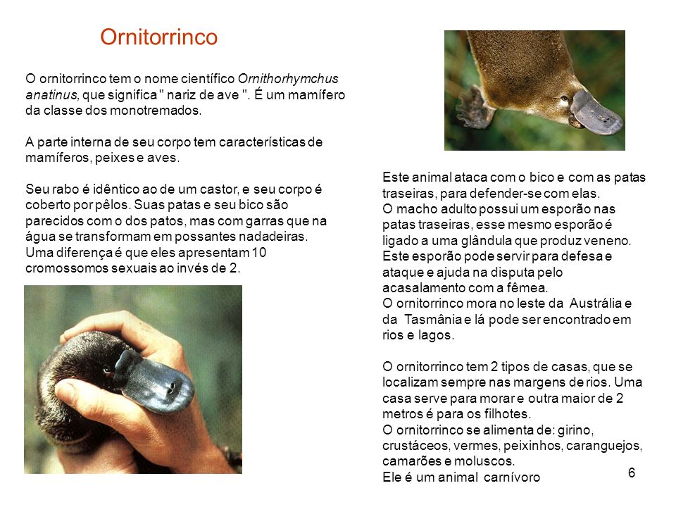 Ornitorrinco O ornitorrinco tem o nome científico Ornithorhymchus anatinus, que significa nariz de ave . É um mamífero da classe dos monotremados.