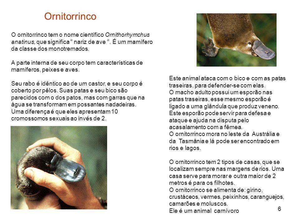 OrnitorrincoO ornitorrinco tem o nome científico Ornithorhymchus anatinus, que significa nariz de ave . É um mamífero da classe dos monotremados.