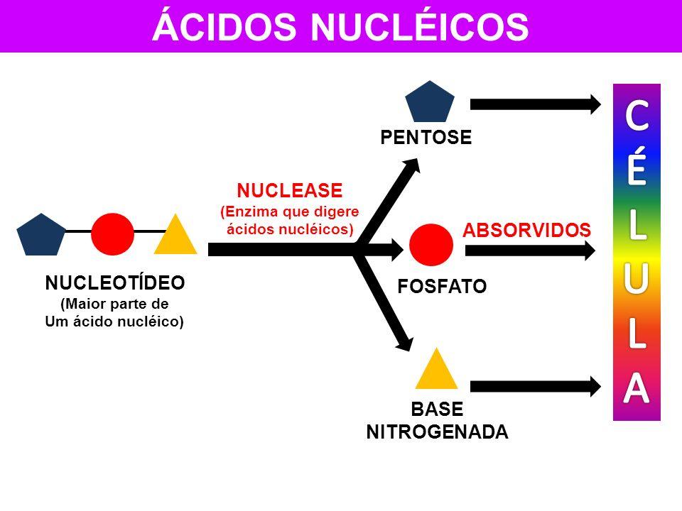 (Enzima que digere ácidos nucléicos)