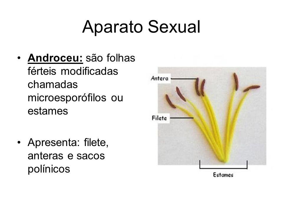 Aparato SexualAndroceu: são folhas férteis modificadas chamadas microesporófilos ou estames.