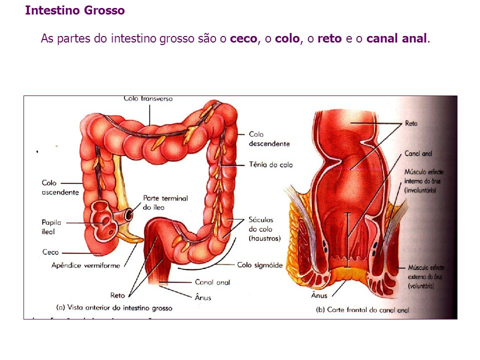 Intestino Grosso As partes do intestino grosso são o ceco, o colo, o reto e o canal anal.