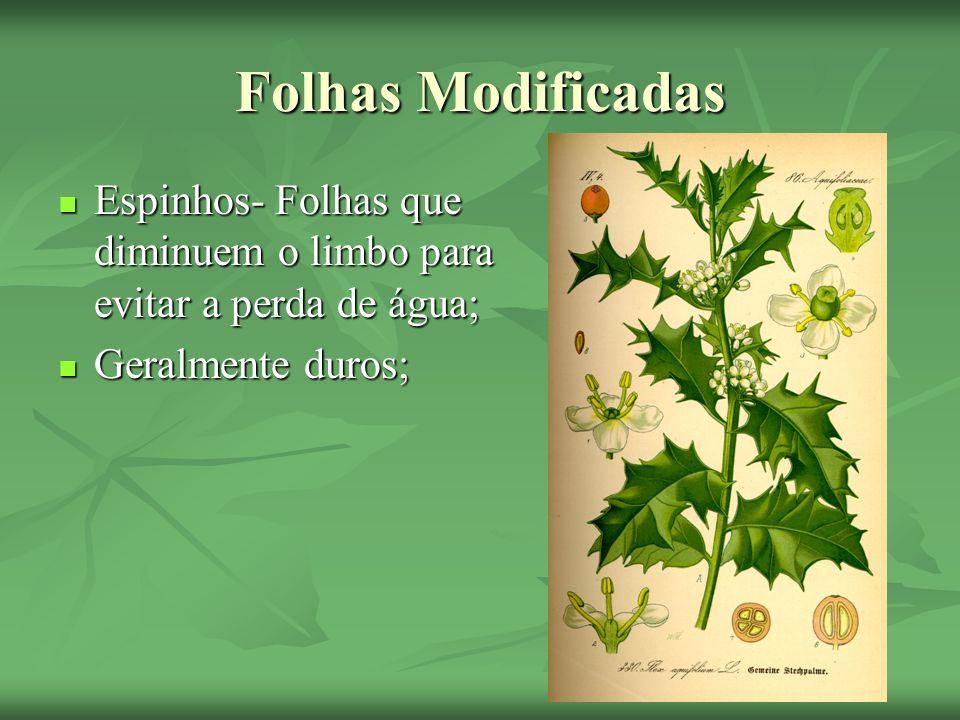 Folhas ModificadasEspinhos- Folhas que diminuem o limbo para evitar a perda de água; Geralmente duros;