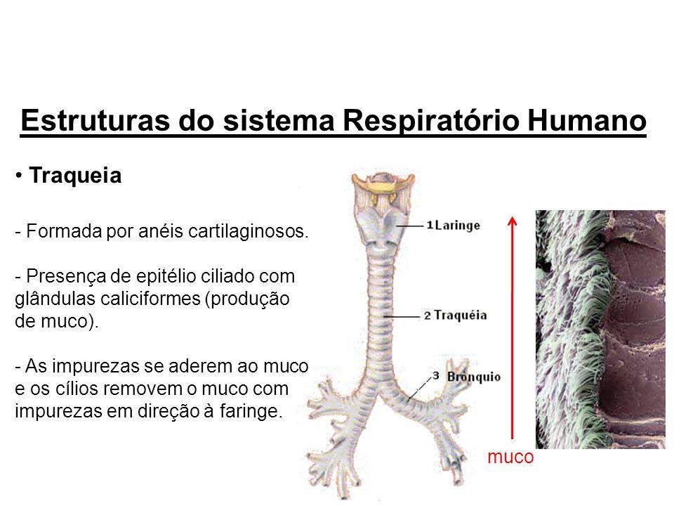 Estruturas do sistema Respiratório Humano
