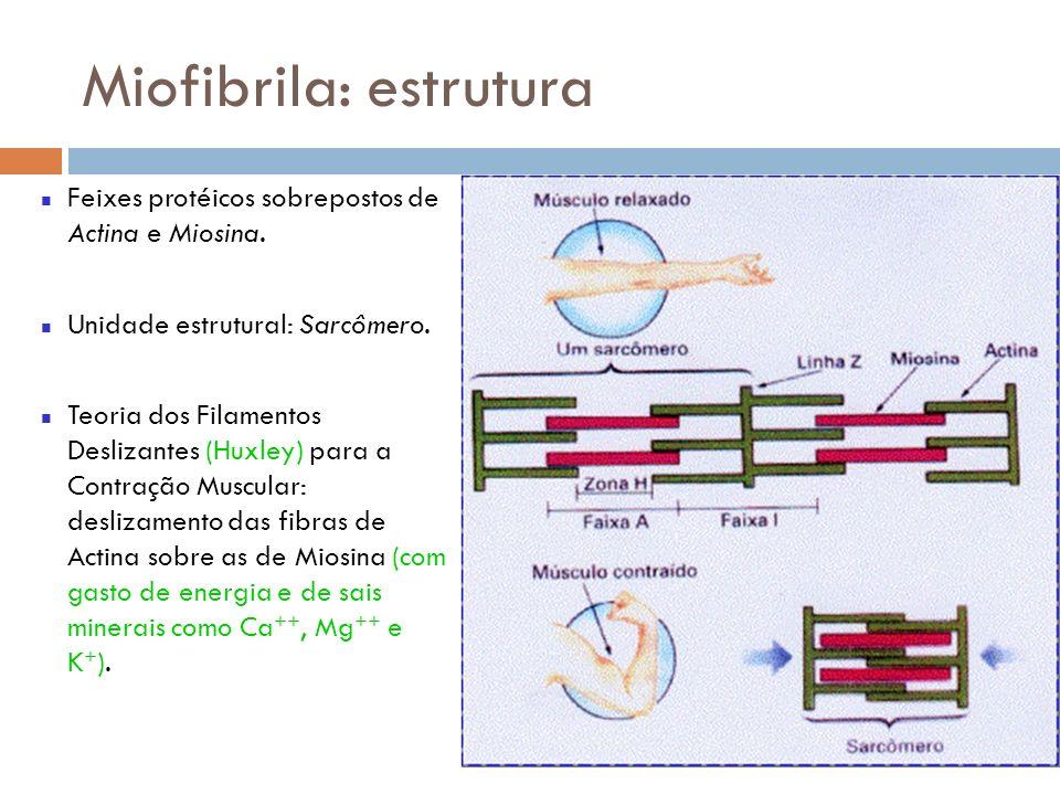 Miofibrila: estrutura