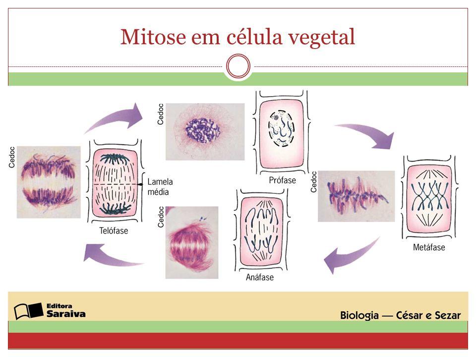 Mitose em célula vegetal