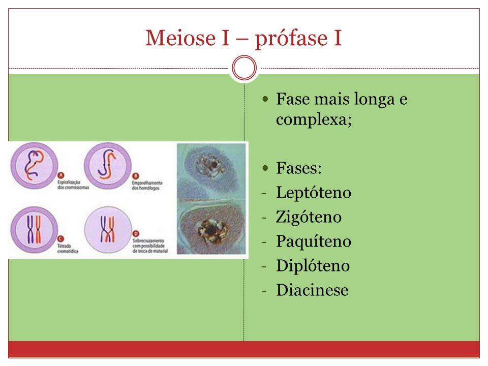 Meiose I – prófase I Fase mais longa e complexa; Fases: Leptóteno