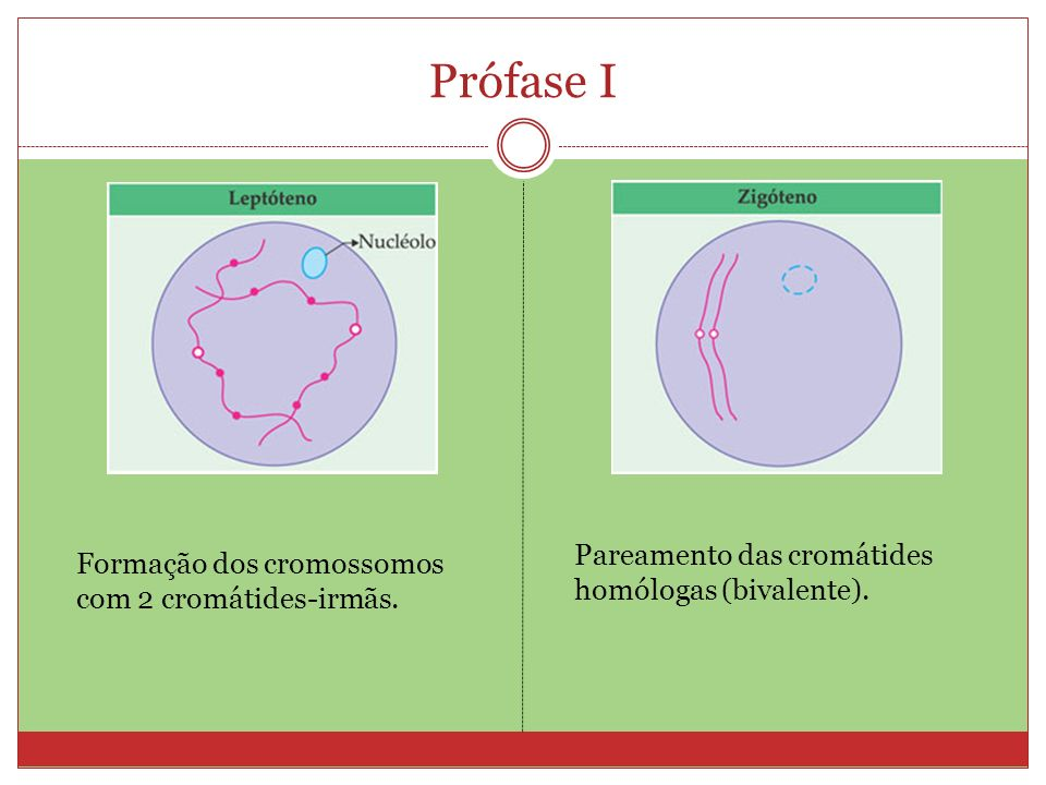 Prófase I Pareamento das cromátides homólogas (bivalente).