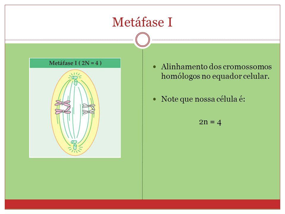 Metáfase I Alinhamento dos cromossomos homólogos no equador celular.