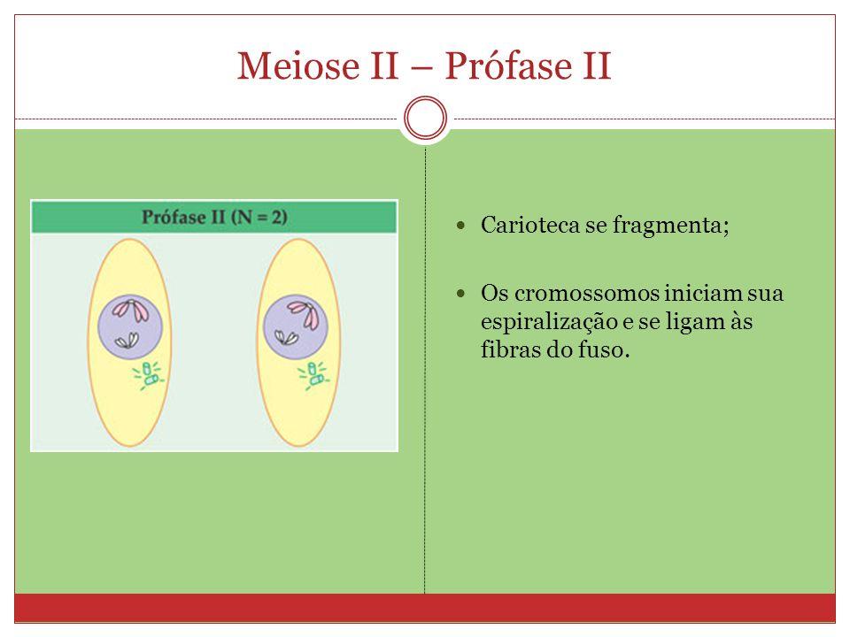 Meiose II – Prófase II Carioteca se fragmenta;