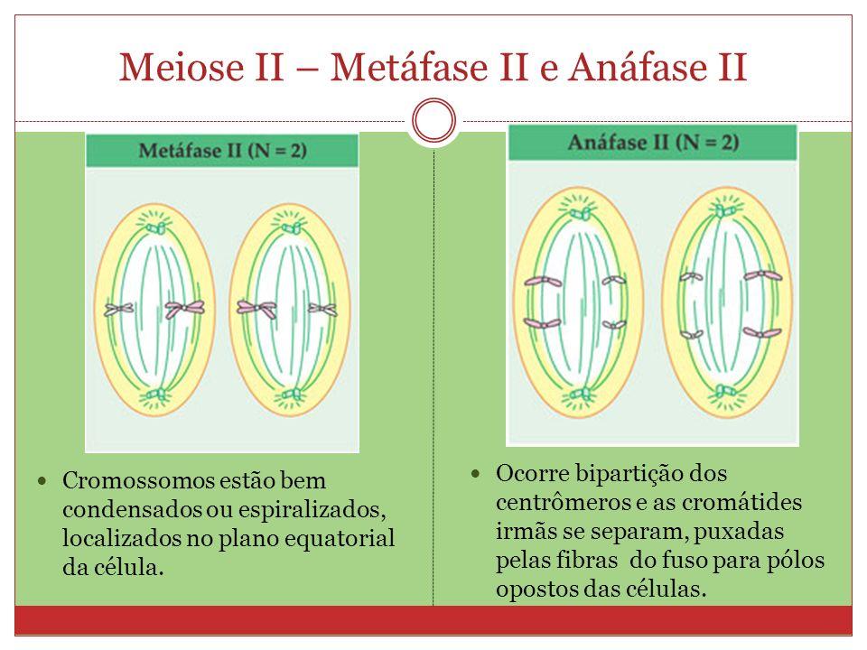 Meiose II – Metáfase II e Anáfase II