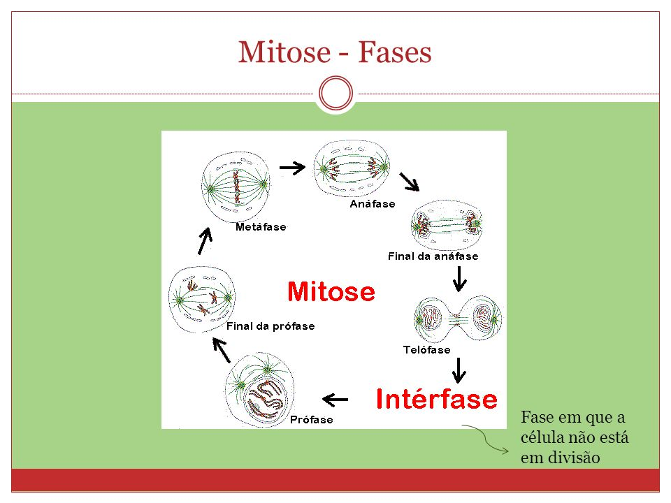 Mitose - Fases Fase em que a célula não está em divisão