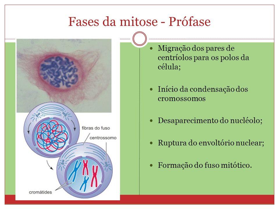 Fases da mitose - Prófase