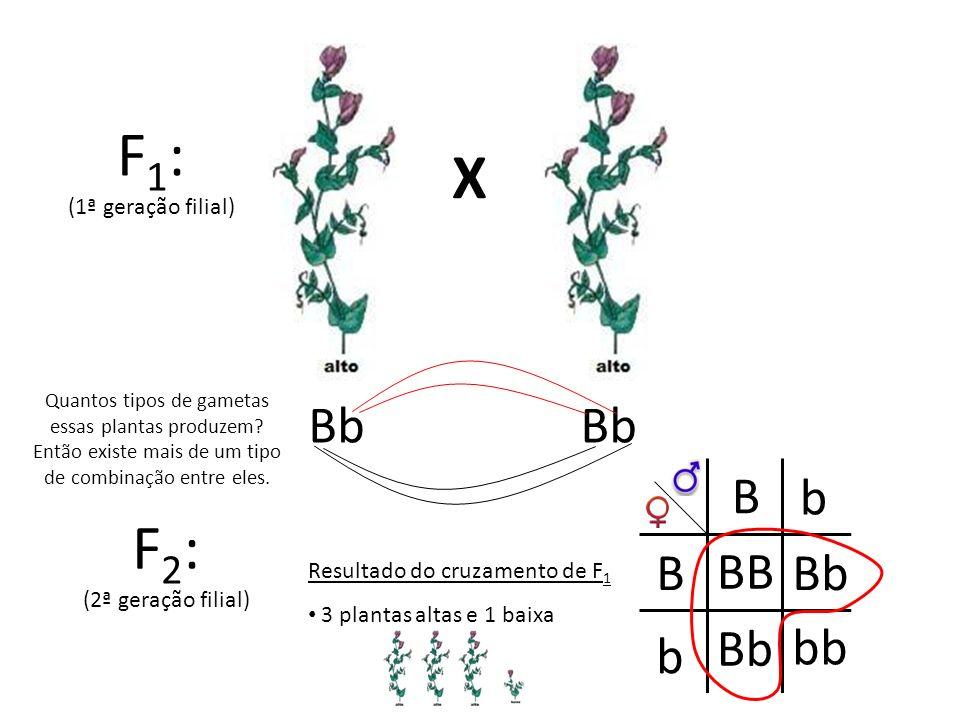 F1: X F2: Bb Bb B b B BB Bb Bb bb b (1ª geração filial)