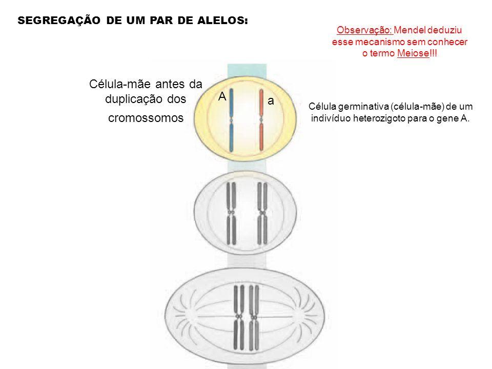Célula-mãe antes da duplicação dos cromossomos