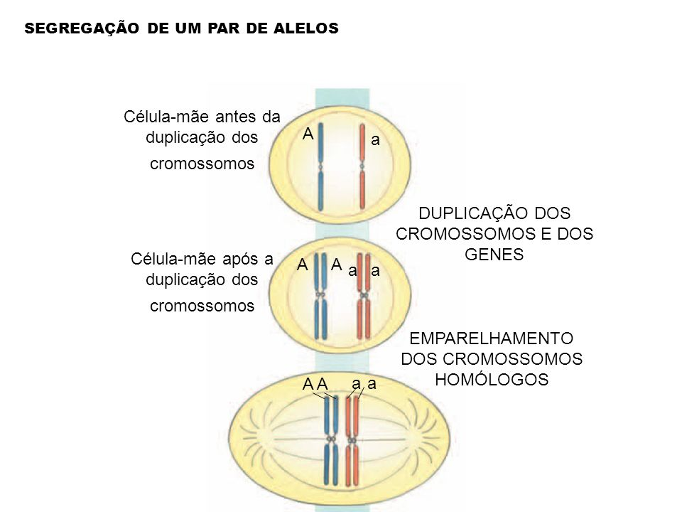 Célula-mãe antes da duplicação dos cromossomos A a
