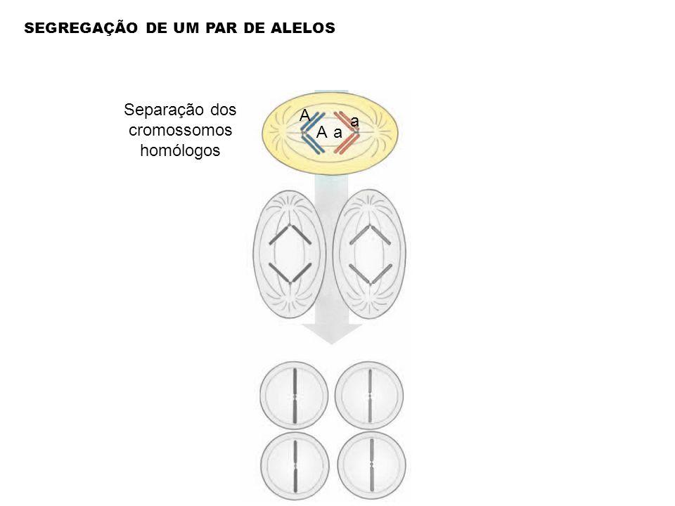 Separação dos cromossomos homólogos