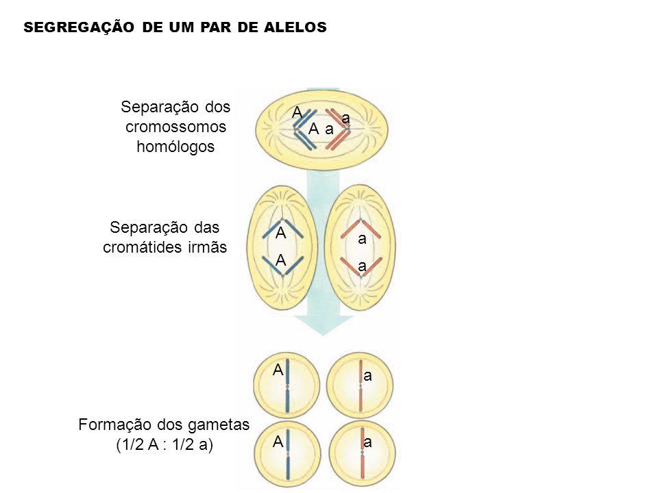 Separação dos cromossomos homólogos A a a A