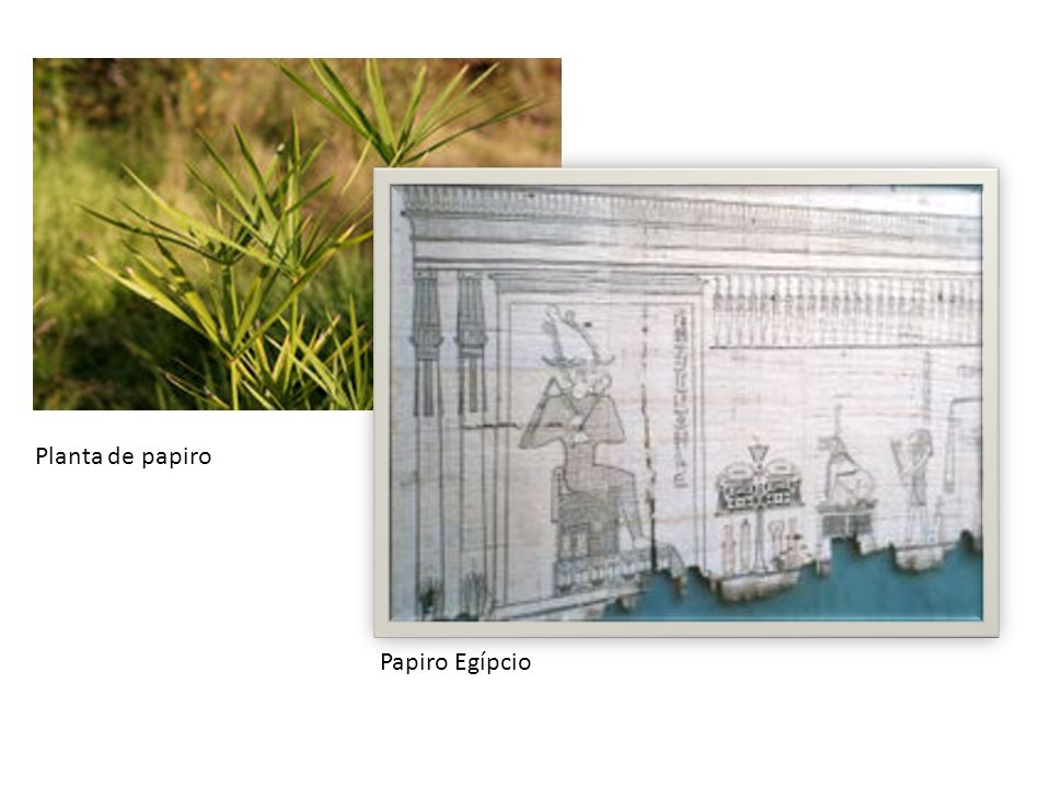 Planta de papiro Papiro Egípcio