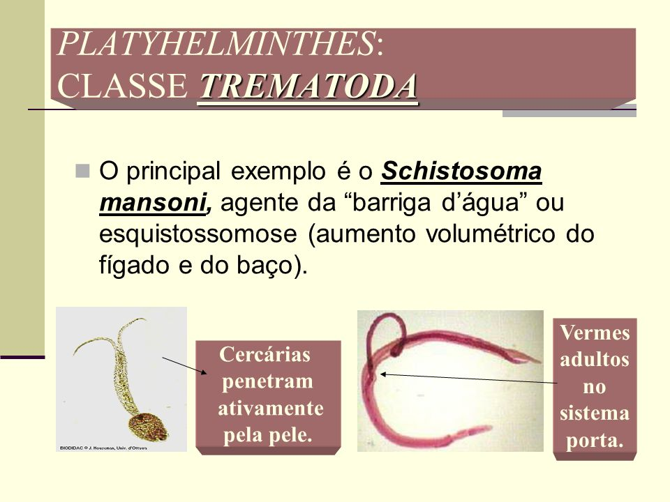 PLATYHELMINTHES: CLASSE TREMATODA