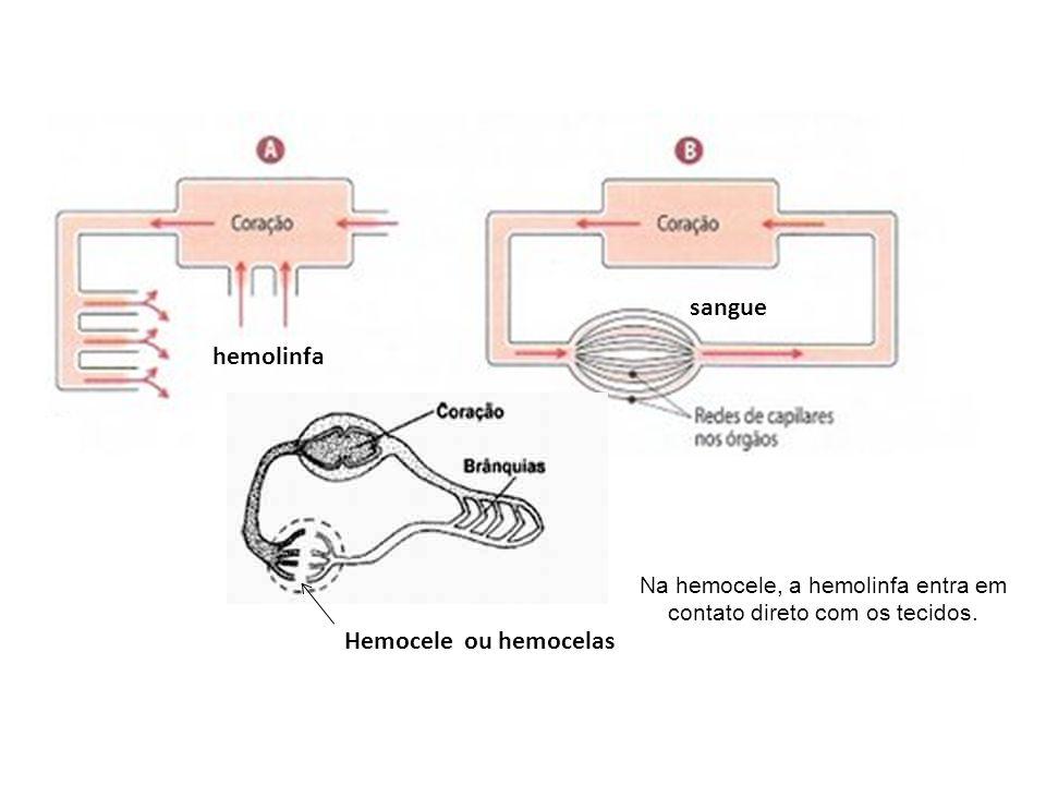 Na hemocele, a hemolinfa entra em contato direto com os tecidos.