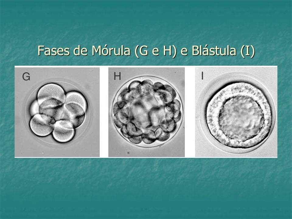 Fases de Mórula (G e H) e Blástula (I)