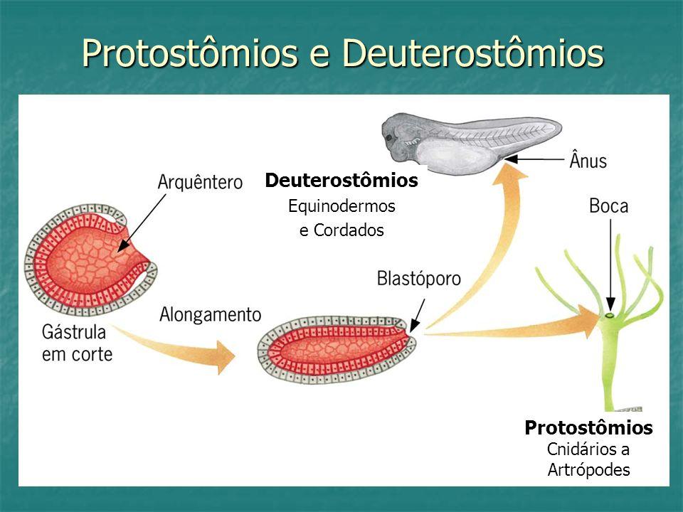 Protostômios e Deuterostômios