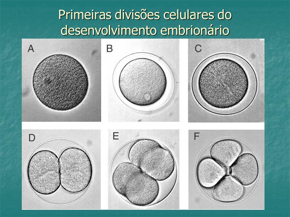 Primeiras divisões celulares do desenvolvimento embrionário