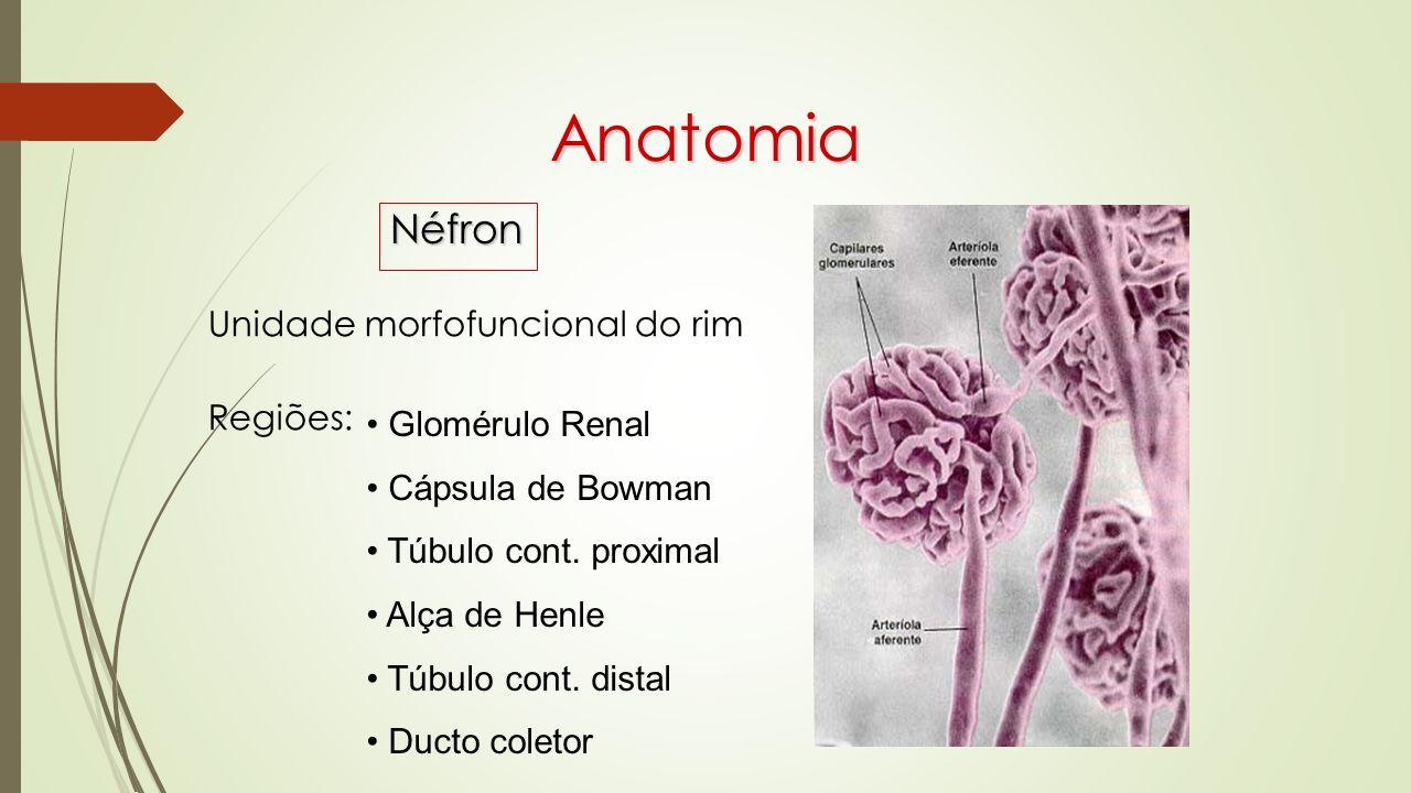 Anatomia Néfron Unidade morfofuncional do rim Regiões: Glomérulo Renal