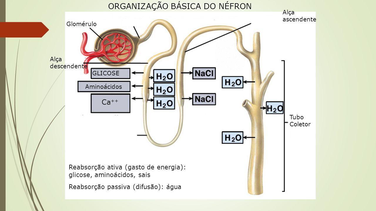 ORGANIZAÇÃO BÁSICA DO NÉFRON