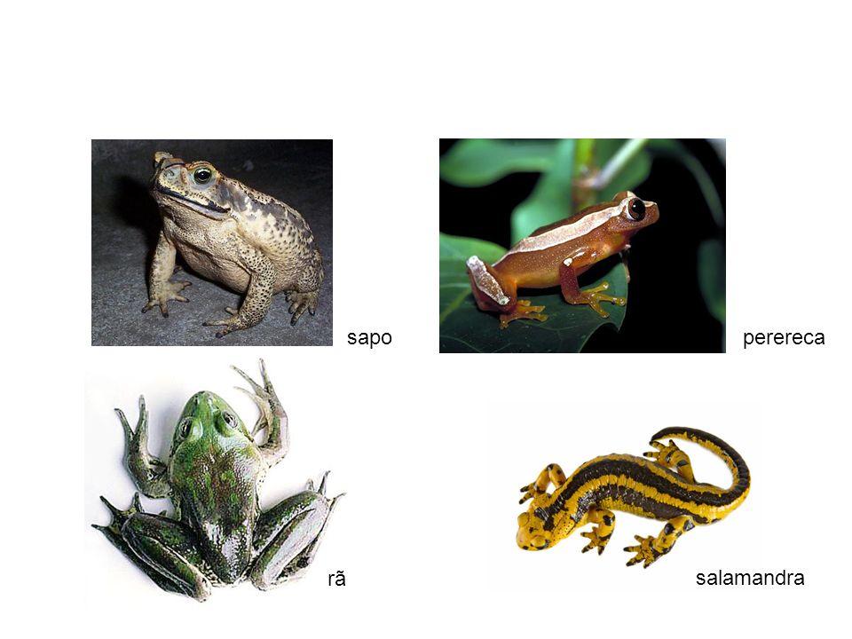 sapo perereca rã salamandra
