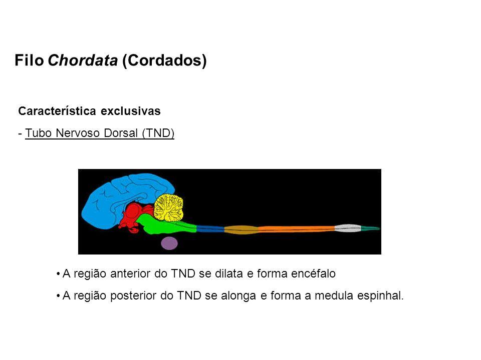 Filo Chordata (Cordados)