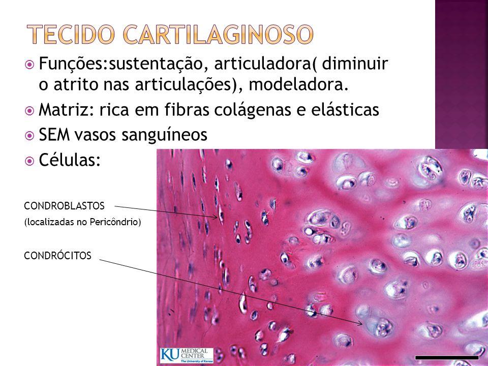 Tecido cartilaginoso Funções:sustentação, articuladora( diminuir o atrito nas articulações), modeladora.