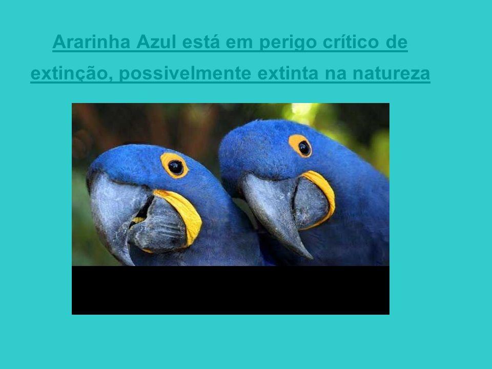 Ararinha Azul está em perigo crítico de extinção, possivelmente extinta na natureza