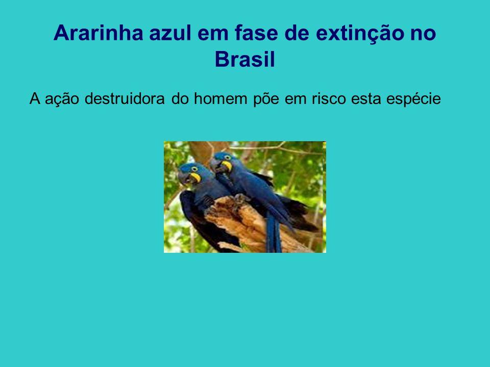 Ararinha azul em fase de extinção no Brasil